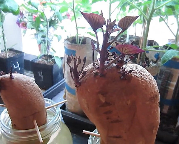 Ako pestovať sladké zemiaky - prvé výhony