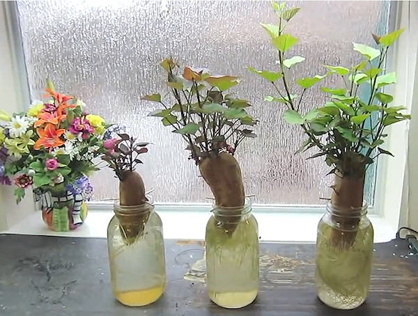 Ako pestovať sladké zemiaky - výhonky
