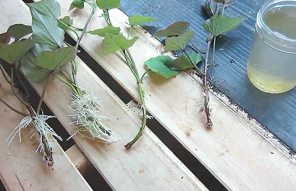 Ako pestovať sladké zemiaky - zakorenenie výhonov