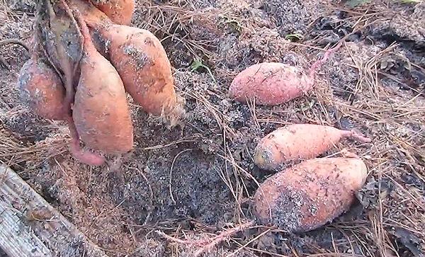 Ako pestovať sladké zemiaky - vykopávanie úrody