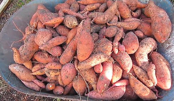 Ako pestovať sladké zemiaky - úroda