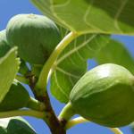 Kedy strihať figovník